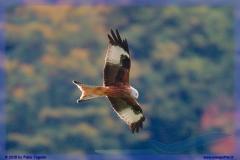 2015-meiringen-axalp-hornet-puma-104
