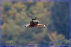 2015-meiringen-axalp-hornet-puma-106